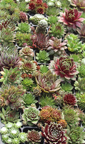 SEMPERVIVUM Hot Mix