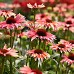 Echinacea Playful Meadow Mama 72